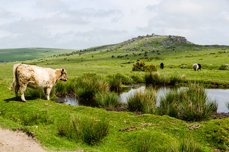 The beautiful scenery and variety of wildlife make Bodmin Moor well worth the cycle up. The local Old Inn provides that extra incentive for the hard work.