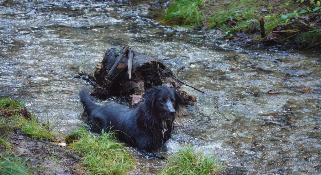 A dog making a splash in one of the streams that runs through the woods at Cardinham. Cardinham is a local favourite for circular dog walks.