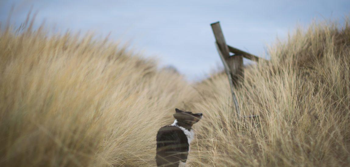 A dog walks free amongst the sand dunes at a beach