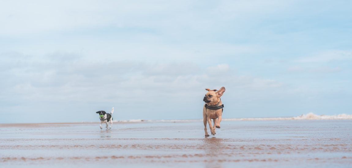 Two dogs run free on a beach and in the sea
